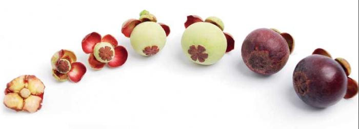 Scientific Proof Mangosteen Fruit Skin